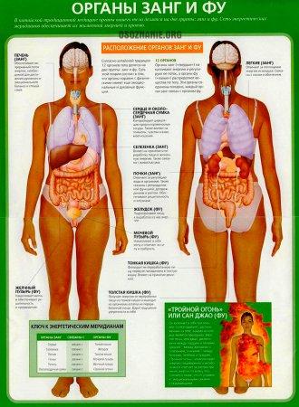 Ваша духовная анатомия. Органы Занг и Фу. Часть 1